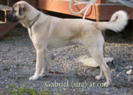 Gabriel (sire) at one